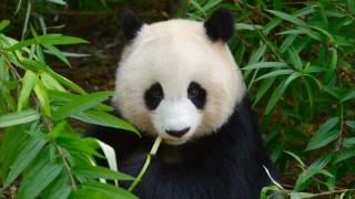 パンダの愛くるしい丸顔の秘密とは!?NHKが迫る、失われつつある命の物語