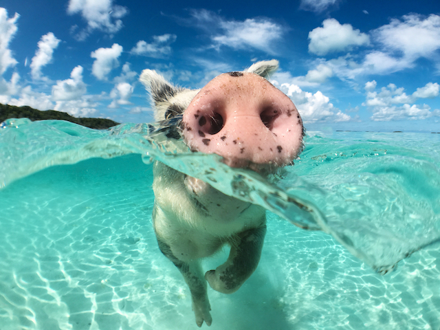 美しい海と豚と。ありえない絶景「豚と一緒に泳げる無人島」