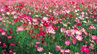 広さ東京ドーム10個分!1億本のコスモスが咲き乱れる福井コスモス広苑