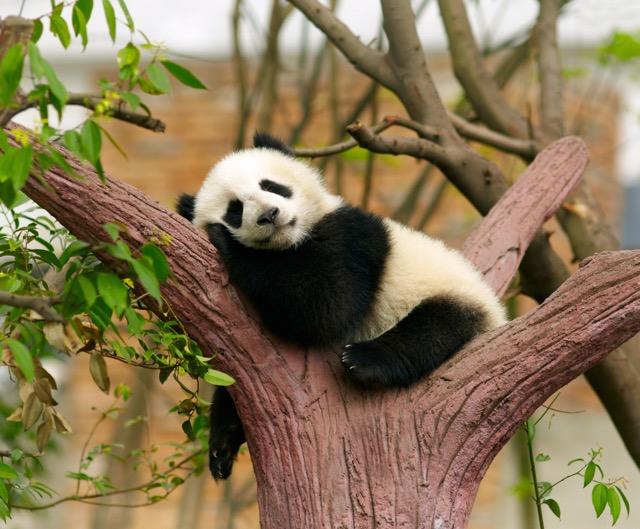木の上でくつろぐパンダがかわいい