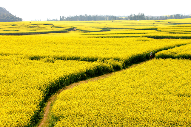 壮大な菜の花の黄色い絨毯!春だけしか見られない中国の絶景