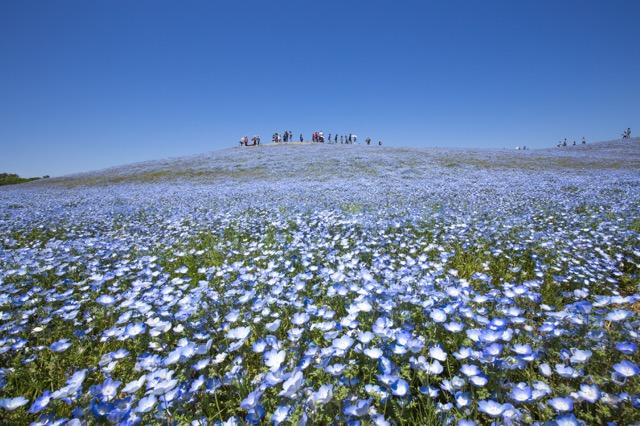 ネモフィラが彩る青色の丘が美しい!GWは「国営ひたち海浜公園」へ!(PR)