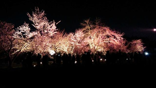 京都でゆっくり桜を見るなら!穴場は疎水沿い