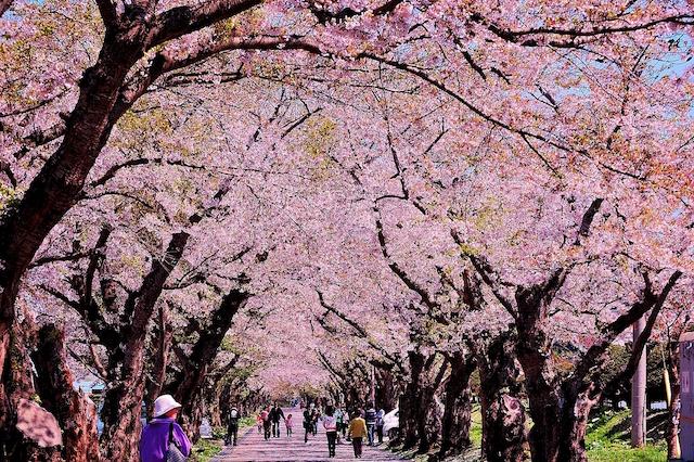 5月まで桜が見られる北海道!新幹線で行くお花見&グルメ&温泉