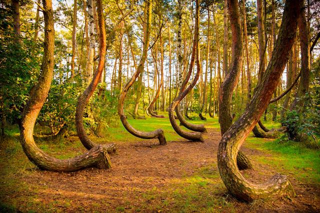 曲がった木は何を語るのか!ポーランドに眠る謎の森。