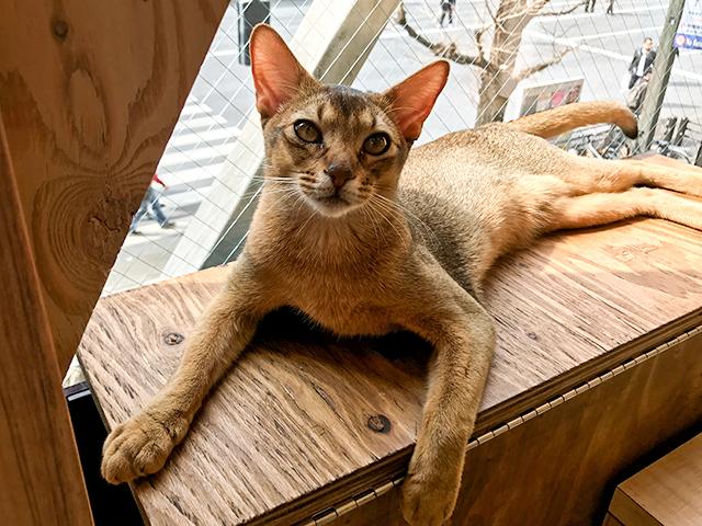 秋葉原でモフモフの猫に癒される…「猫カフェMoCha」