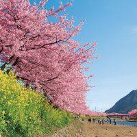 伊豆周辺で楽しむ河津桜と春の花々、伊東の桜など、開花時期や名所をご紹介