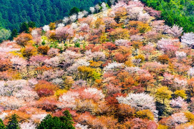 心も薄紅色に染まりそう。一生忘れられない桜の絶景5選