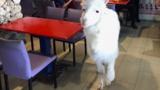 【台湾 台北】もっふもふ!真っ白アルパカと遊べるカフェ!