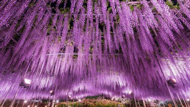 今年は藤も早い開花!『大藤まつり2018』繰り上げ開催【あしかがフラワー