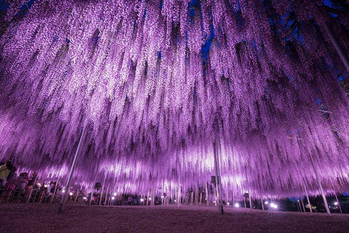 今年は藤も早い開花!『大藤まつり2018』繰り上げ開催【あしかがフラワーパーク】