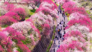 一面がピンクに染まる、日本一の桃源郷 花桃の里で花桃まつり【長野県阿智村】