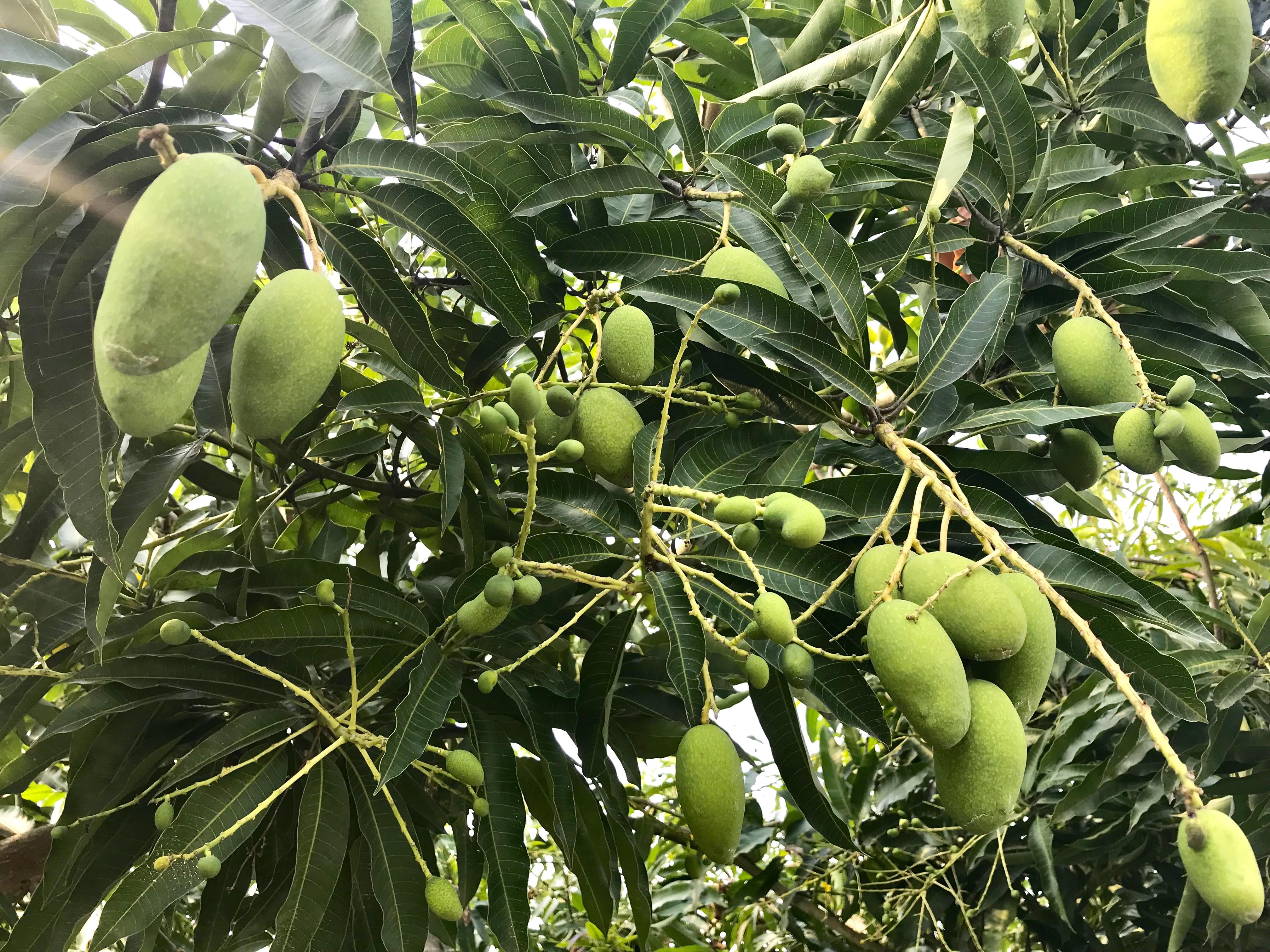 台湾現地から!日本にお土産マンゴーを届けよう!