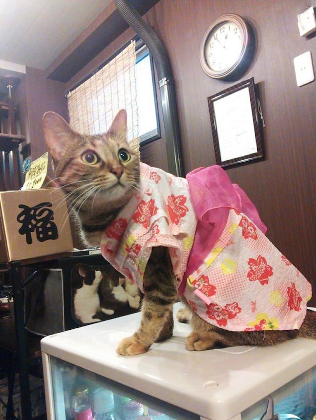 秋葉原のネコカフェで神田祭にちなみ猫たちがハッピ姿でお出迎え!