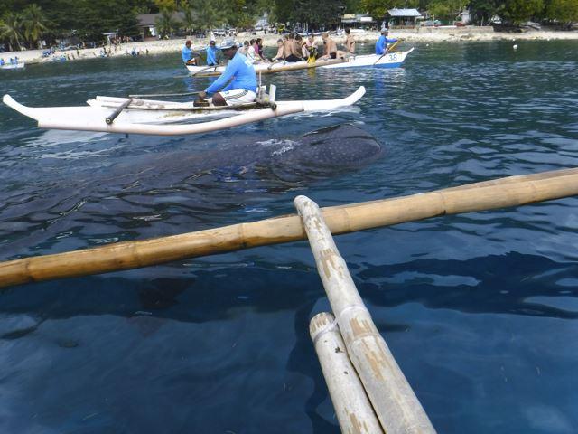 世界一簡単にジンベイザメと一緒に泳ぐ方法! フィリピン・セブ島「オスロブ」
