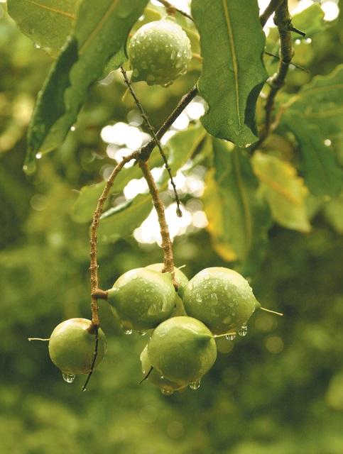 樹上のマカデミアナッツ