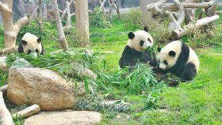 澳門大熊猫館(マカオパンダ館)のパンダ