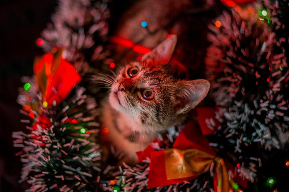 見慣れないクリスマスツリーに興味津々な猫