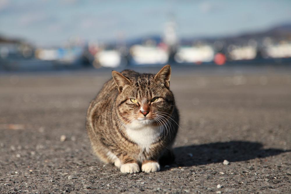 田代島の猫2