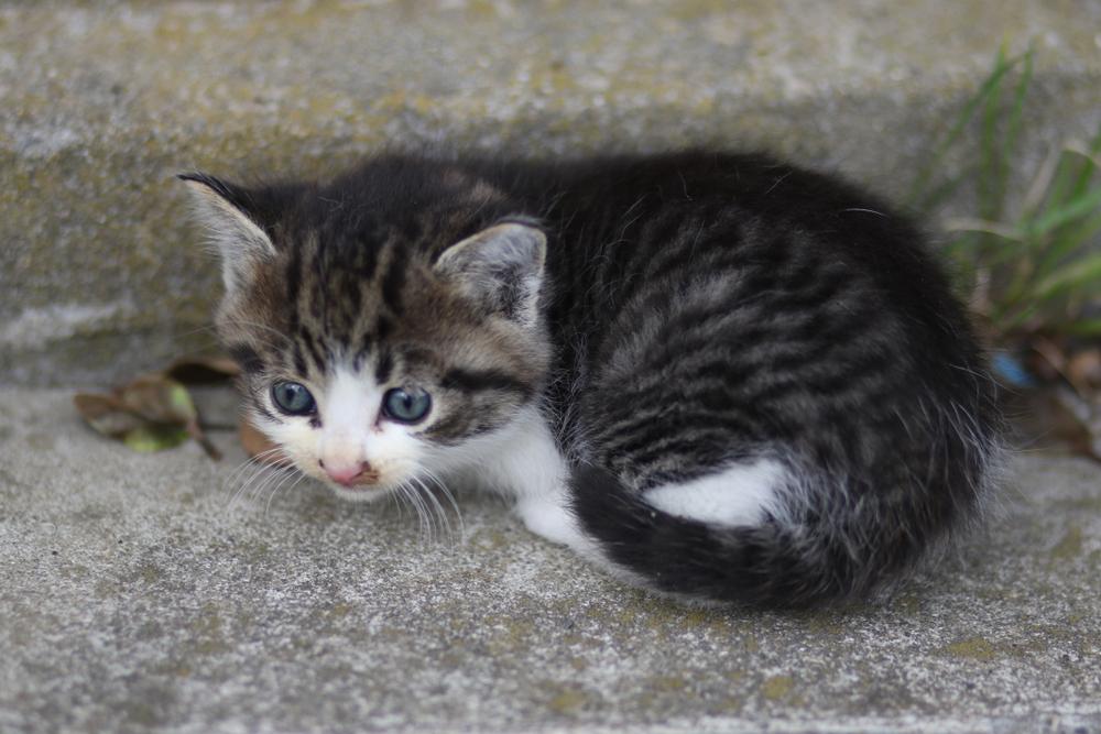 田代島の猫3
