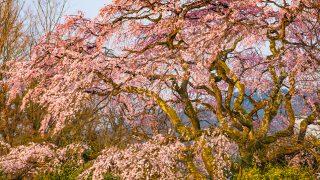 佐賀県宝珠寺のヒメシダレ桜