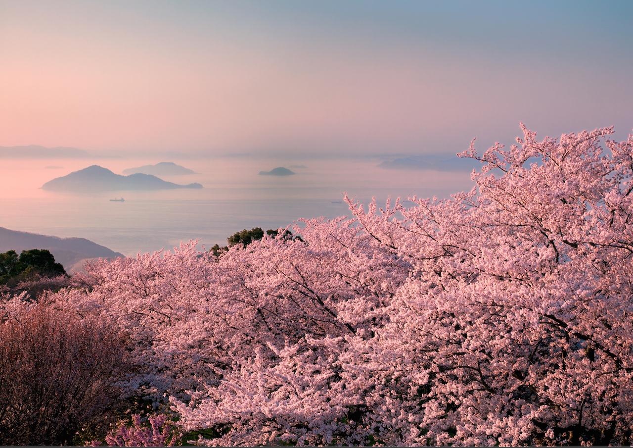 香川県三豊市 紫雲出山の桜