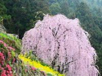 徳島県 川井峠のシダレ桜