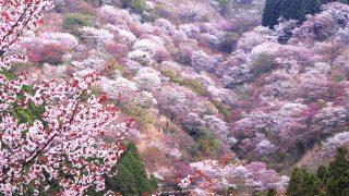 奈良県 吉野山の桜