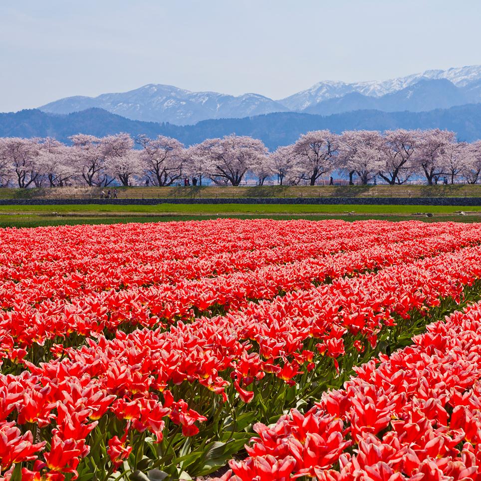 富山県 あさひ舟川「春の四重奏」