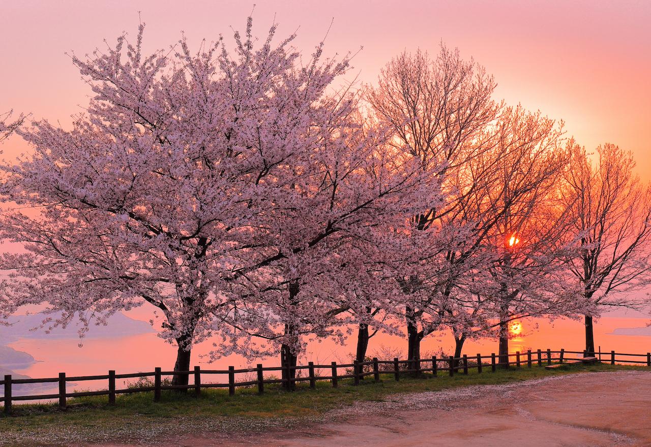 紫雲出山の桜 朝焼け