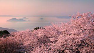 紫雲出山の桜 夕暮れ