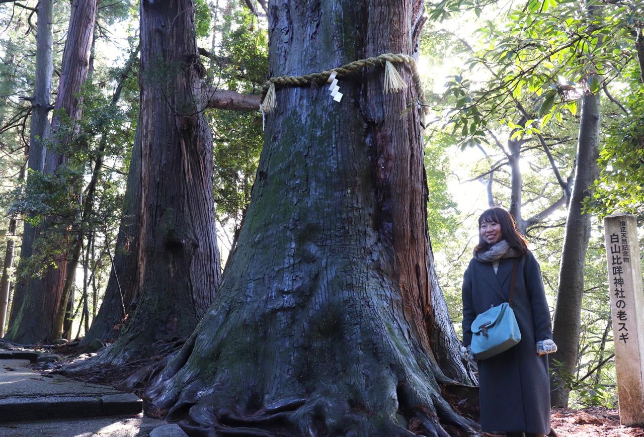 白山比咩神社の御神木