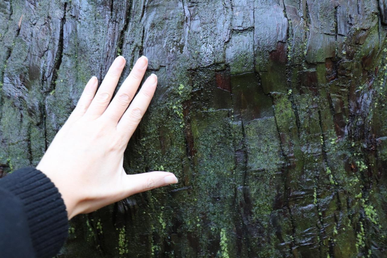 白山比咩神社の老杉