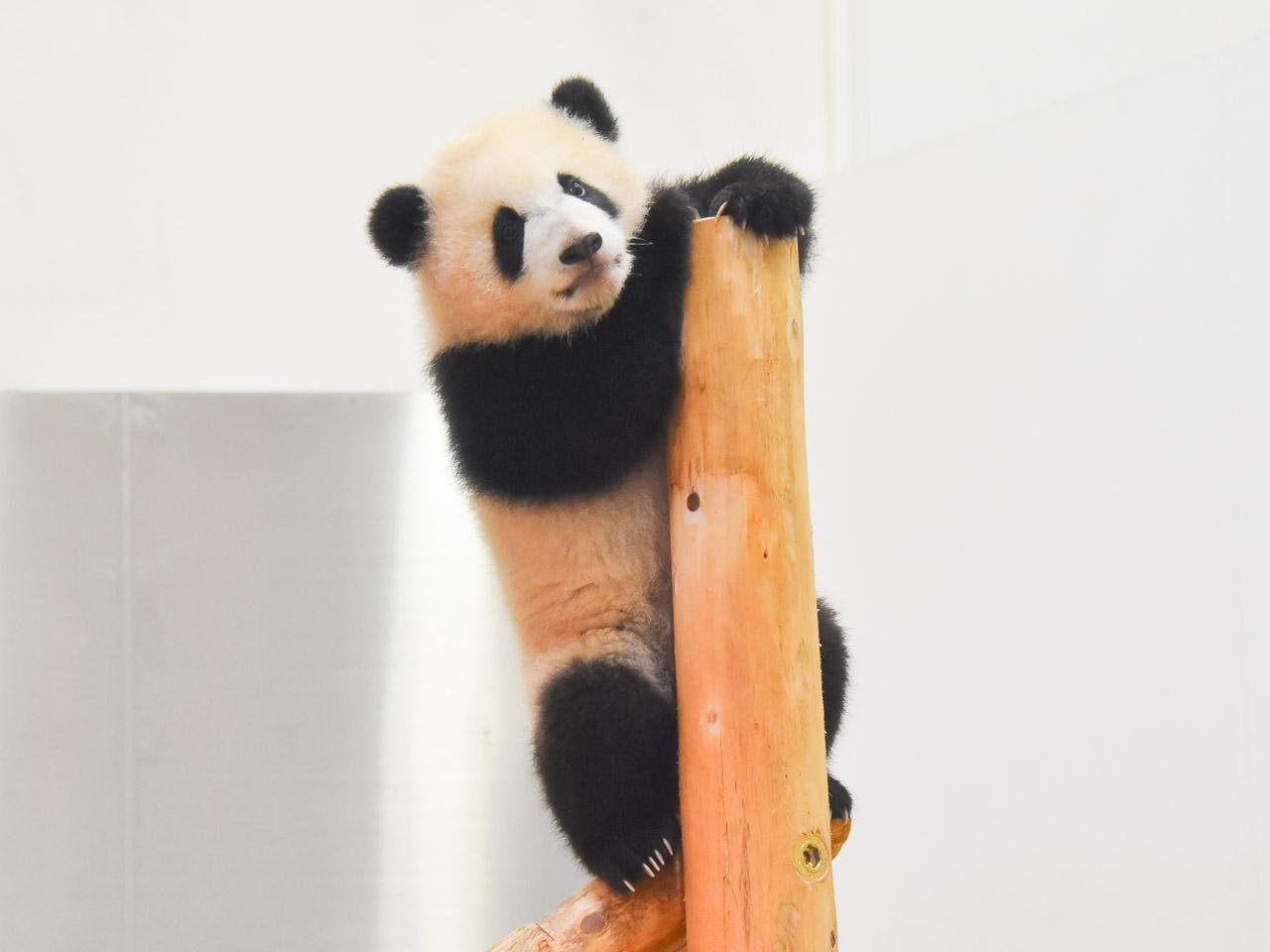 今が一番可愛い!?パンダの彩浜と家族に会いに白浜へ。パンダグルメと動画も!