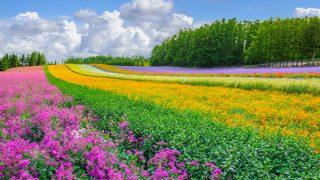 富良野 ラベンダー畑