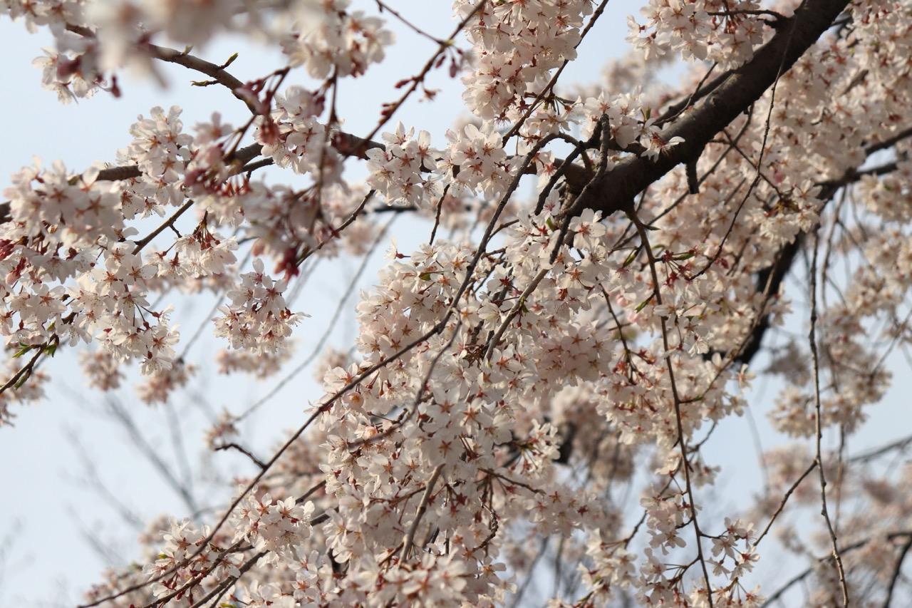 散歩途中の桜