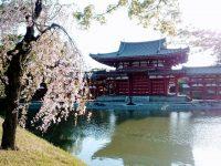 平等院鳳凰堂夕方桜