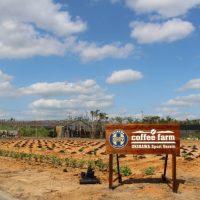 沖縄コーヒープロジェクトのコーヒー栽培