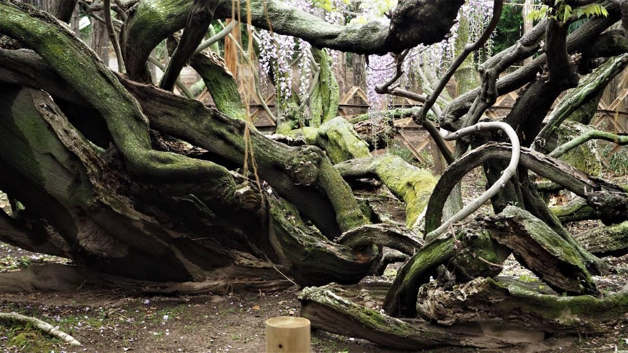 藤の根っこ