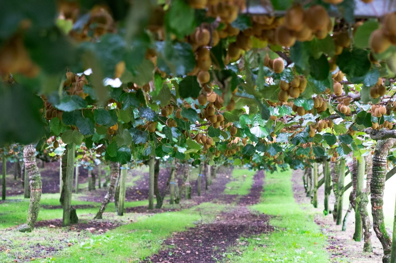 ニュージーランド キウイフルーツ農園