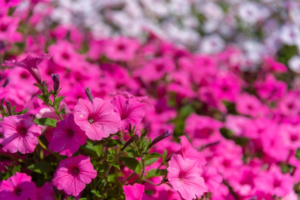 栃木名物イメージ花