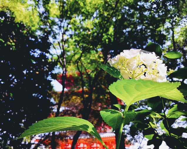 高幡不動尊白紫陽花