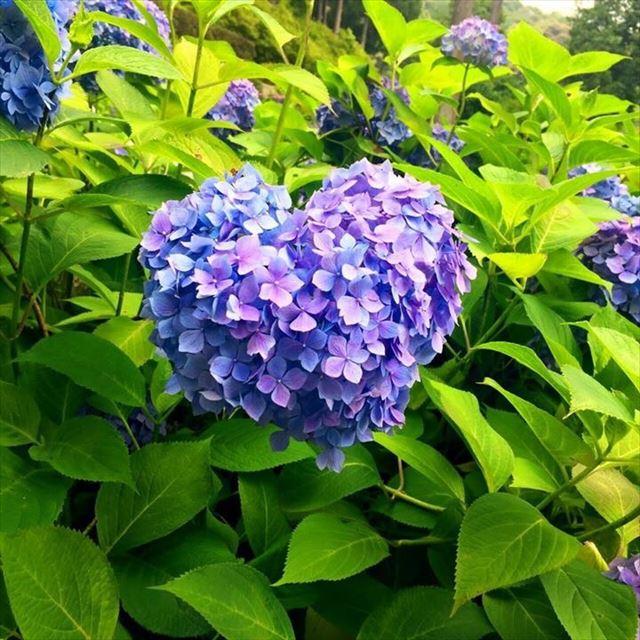 風鈴と紫陽花のコラボも。梅雨の風物詩「紫陽花」を古都京都で楽しみたい