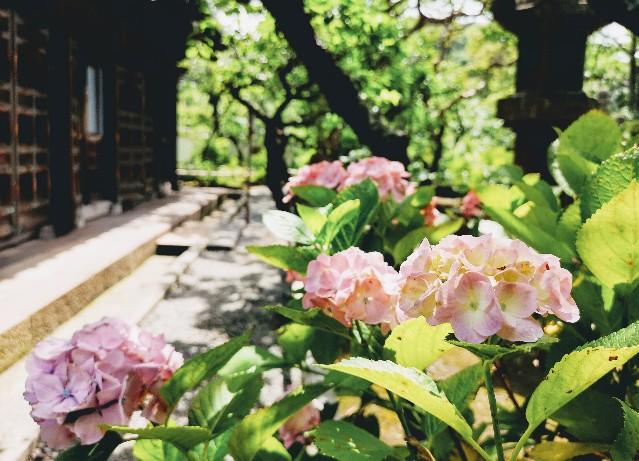 英勝寺紫陽花