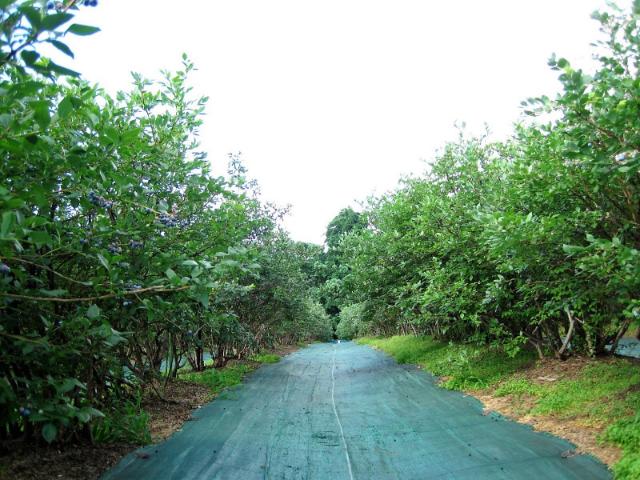 月山高原鈴木農園ブルーベリー畑2