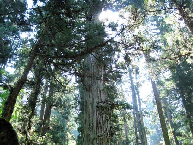 羽黒山爺杉