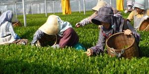 さすき園 茶氷