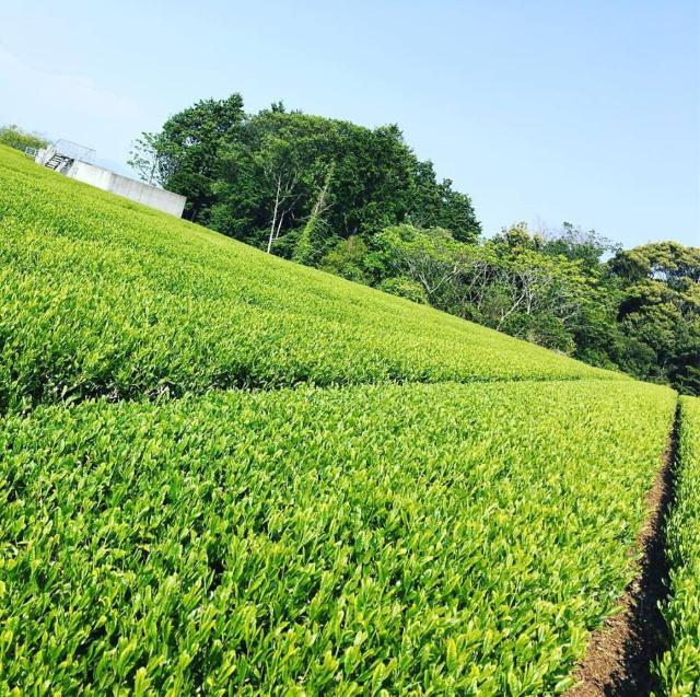 森木農園 茶氷
