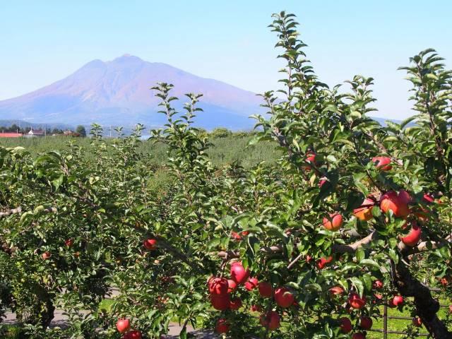 リンゴ越し岩木山