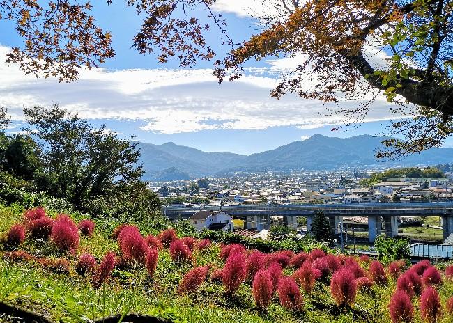 新倉山浅間公園のコキア